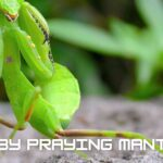 Baby Praying Mantis - Know Everything