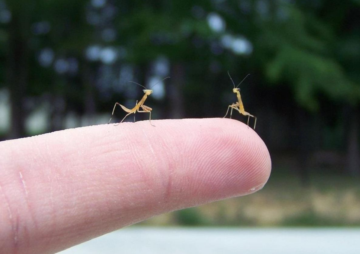 What does a baby praying mantis look like