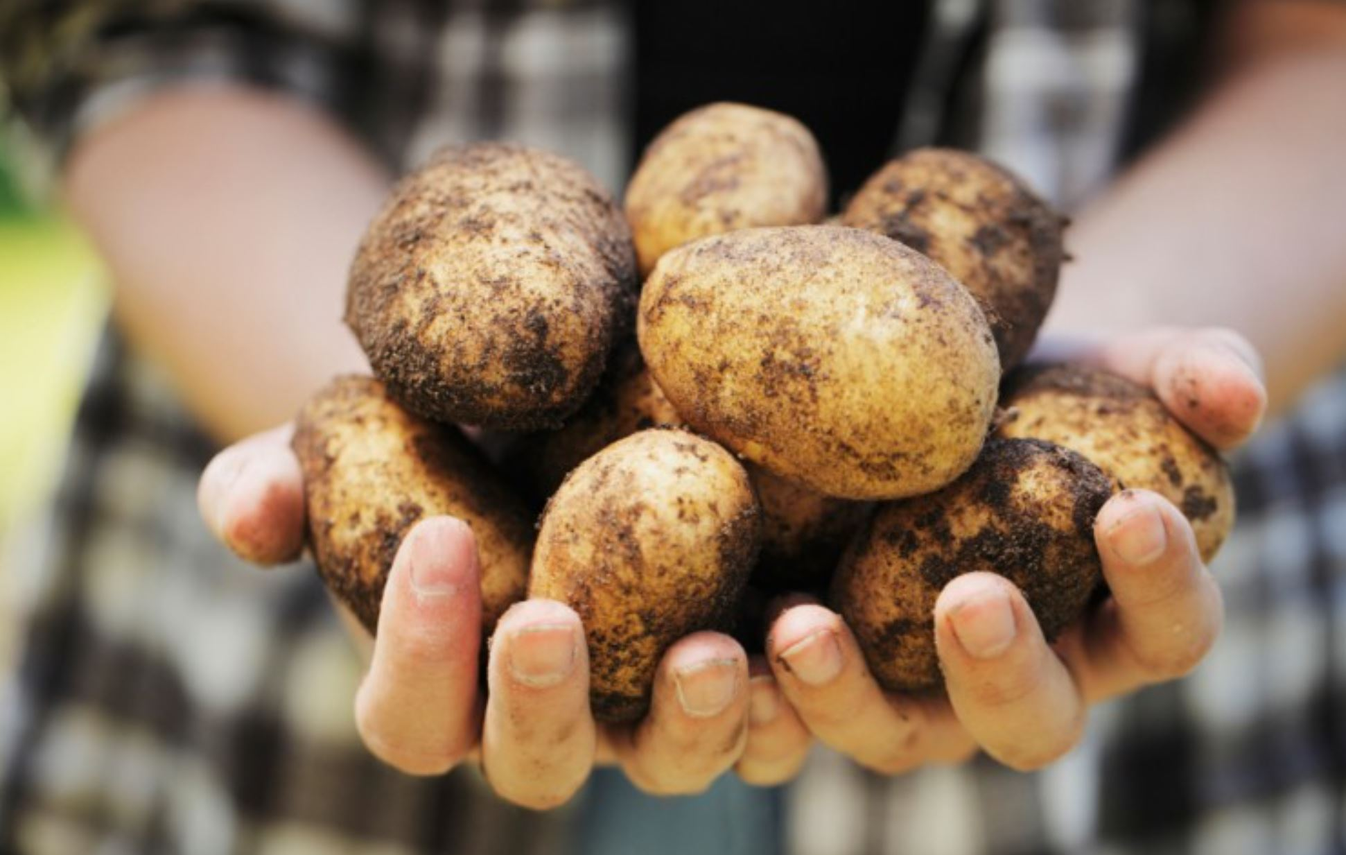 How many medium-size potatoes in a pound